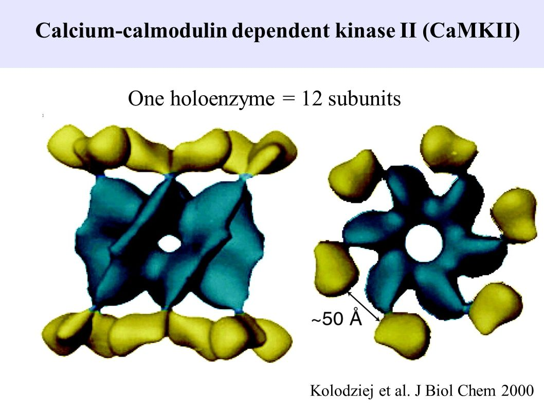 Calcium-calmodulin dependent kinase II (CaMKII)