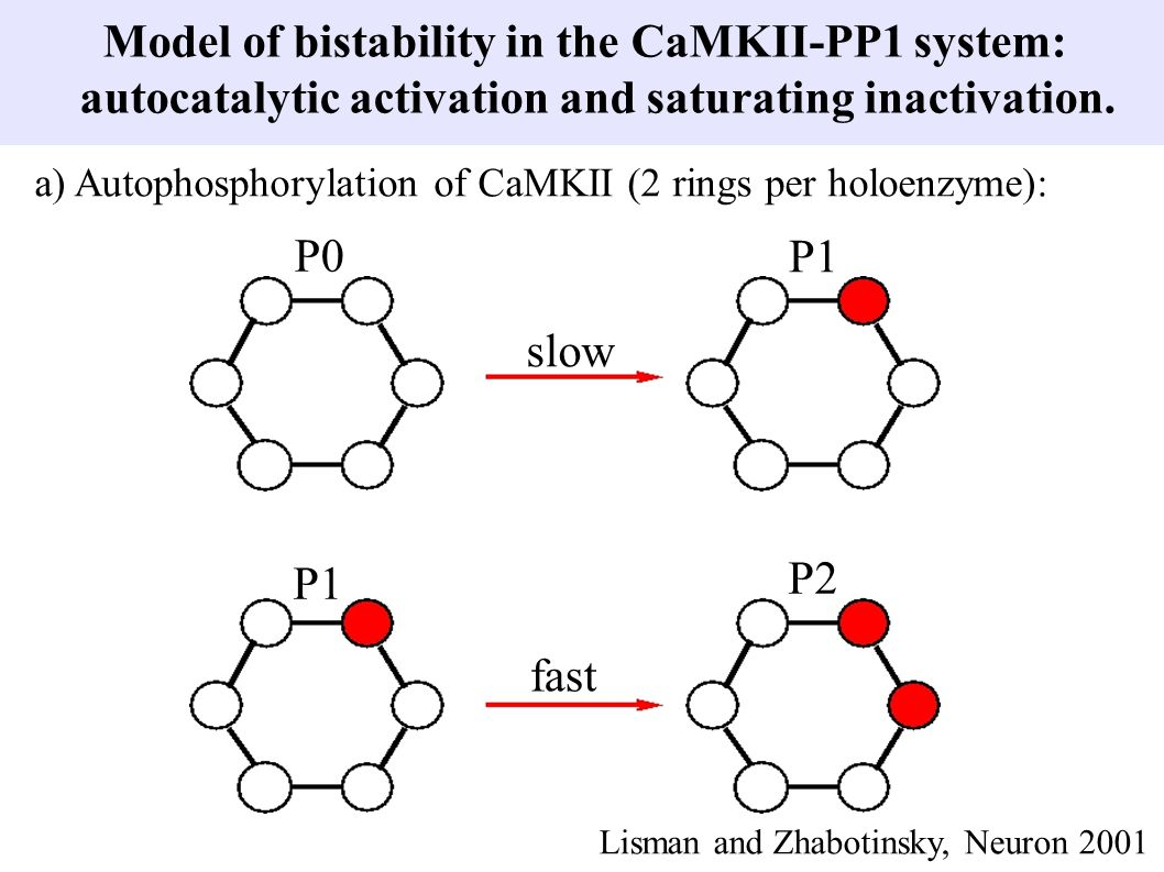 Model of bistability in the CaMKII-PP1 system:
