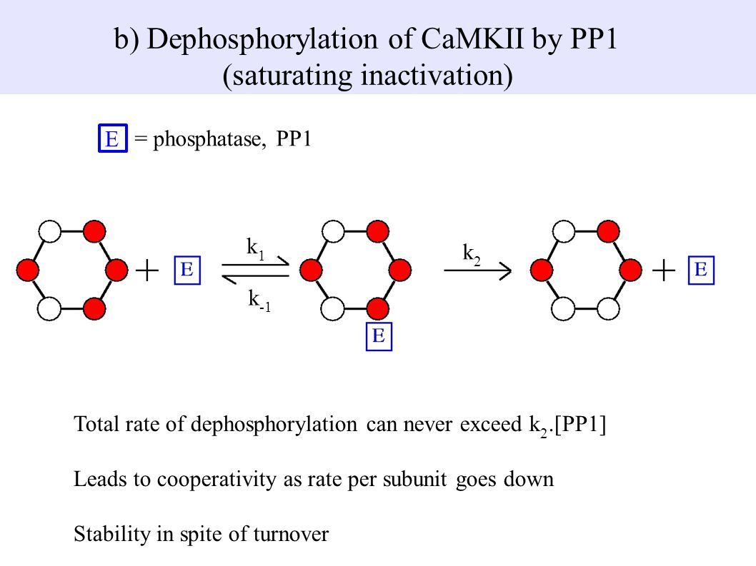 b) Dephosphorylation of CaMKII by PP1 (saturating inactivation)