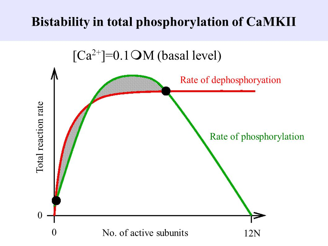 Bistability in total phosphorylation of CaMKII