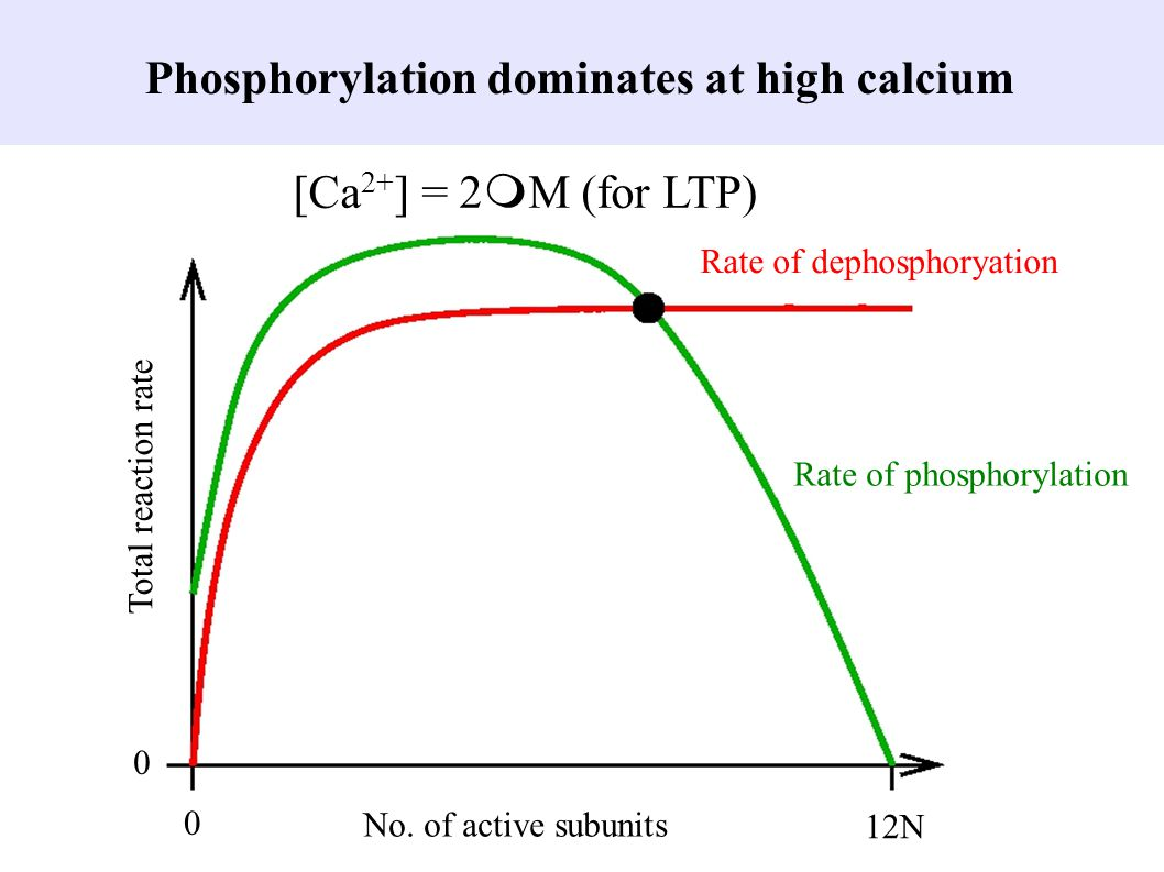 Phosphorylation dominates at high calcium