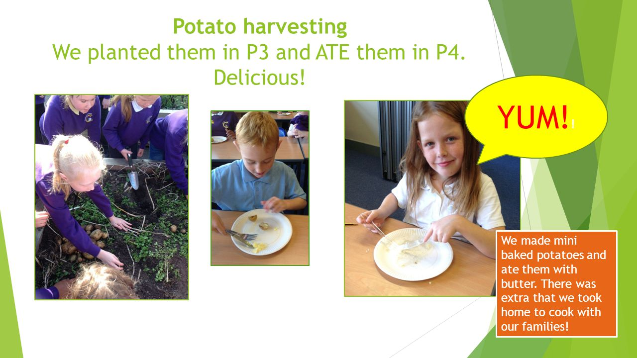 Potato harvesting We planted them in P3 and ATE them in P4. Delicious!