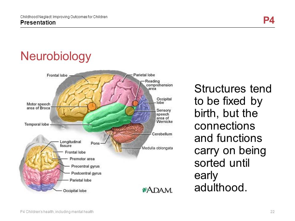 Neurobiology Structures tend to be fixed by birth, but the connections and functions carry on being sorted until early adulthood.