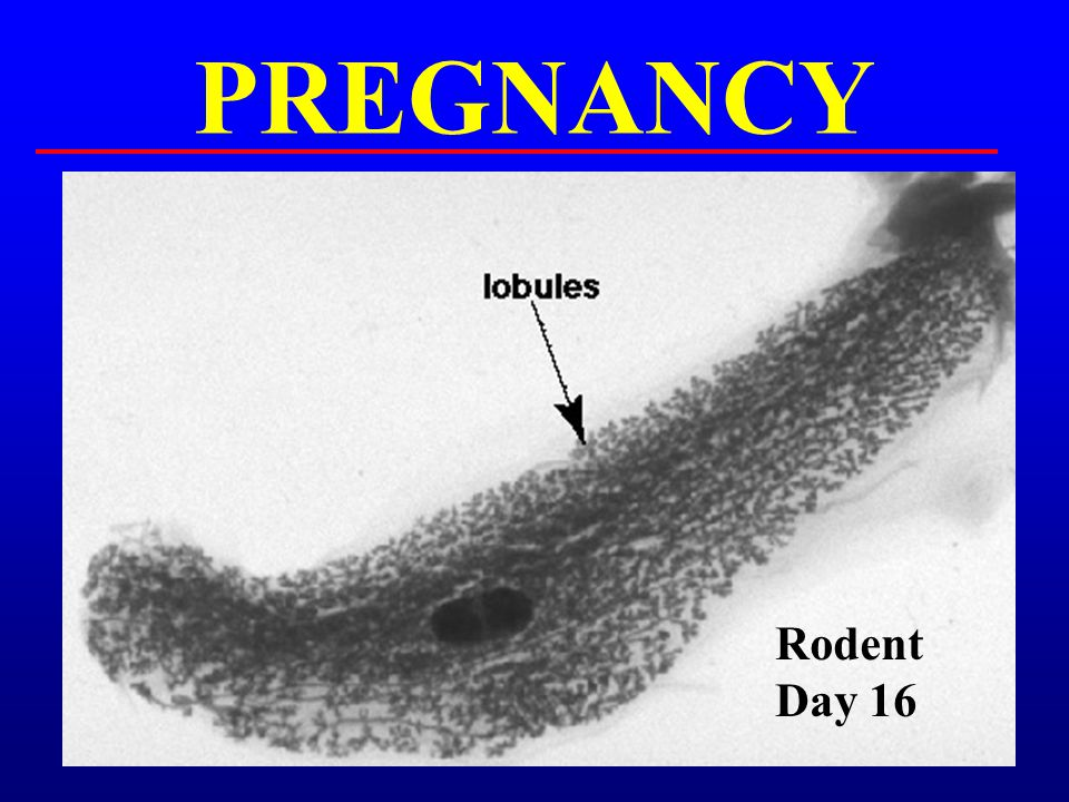 PREGNANCY Rodent Day 16
