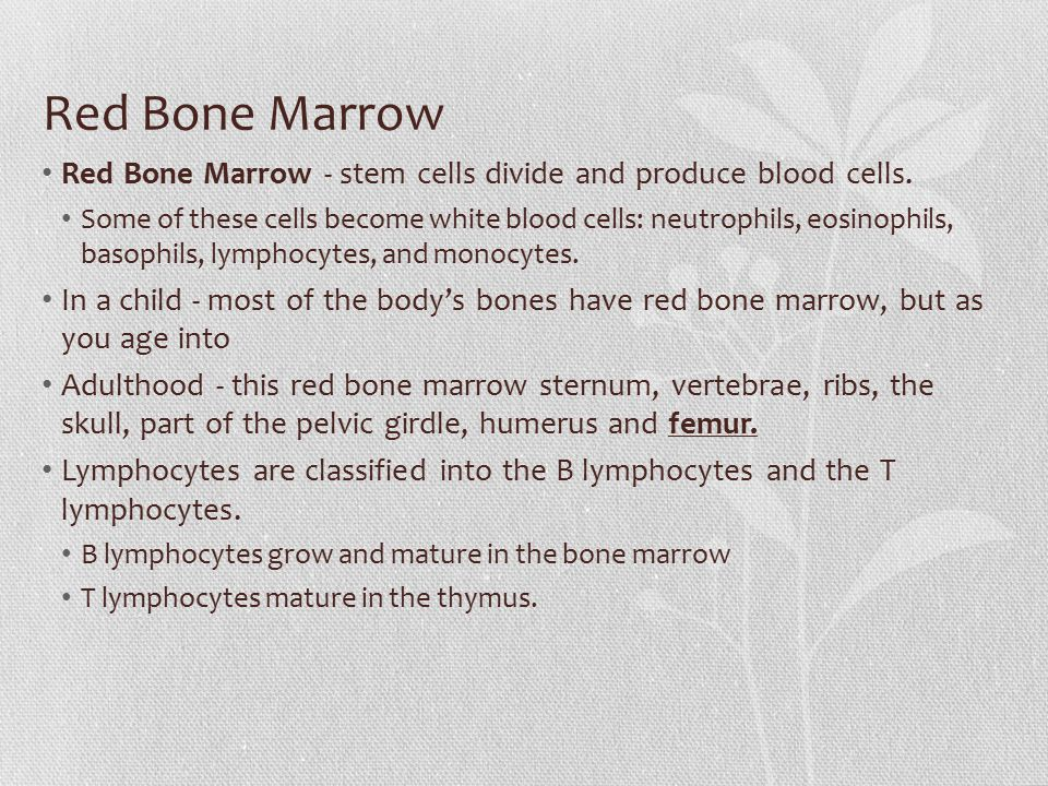 Red Bone Marrow Red Bone Marrow - stem cells divide and produce blood cells.