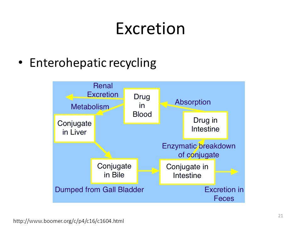 Excretion Enterohepatic recycling