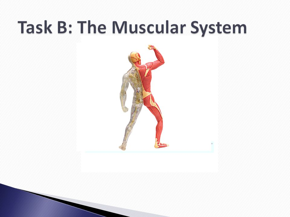 Task B: The Muscular System