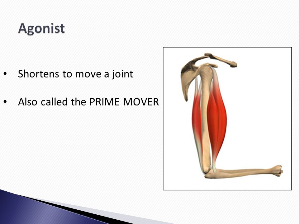 Agonist Shortens to move a joint Also called the PRIME MOVER