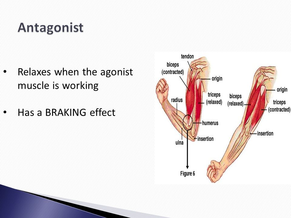 Antagonist Relaxes when the agonist muscle is working