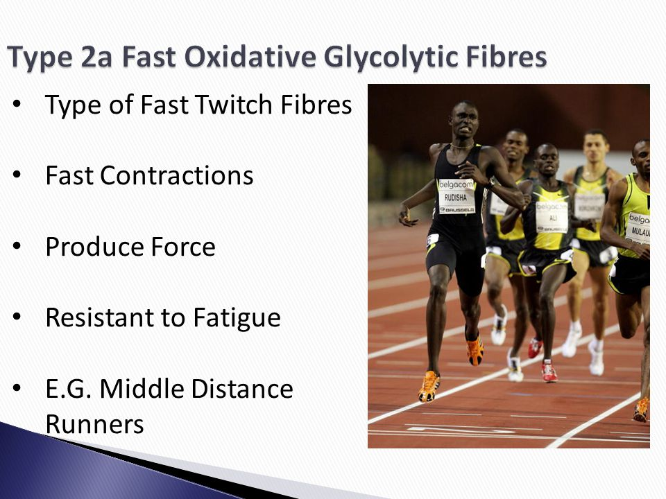 Type 2a Fast Oxidative Glycolytic Fibres