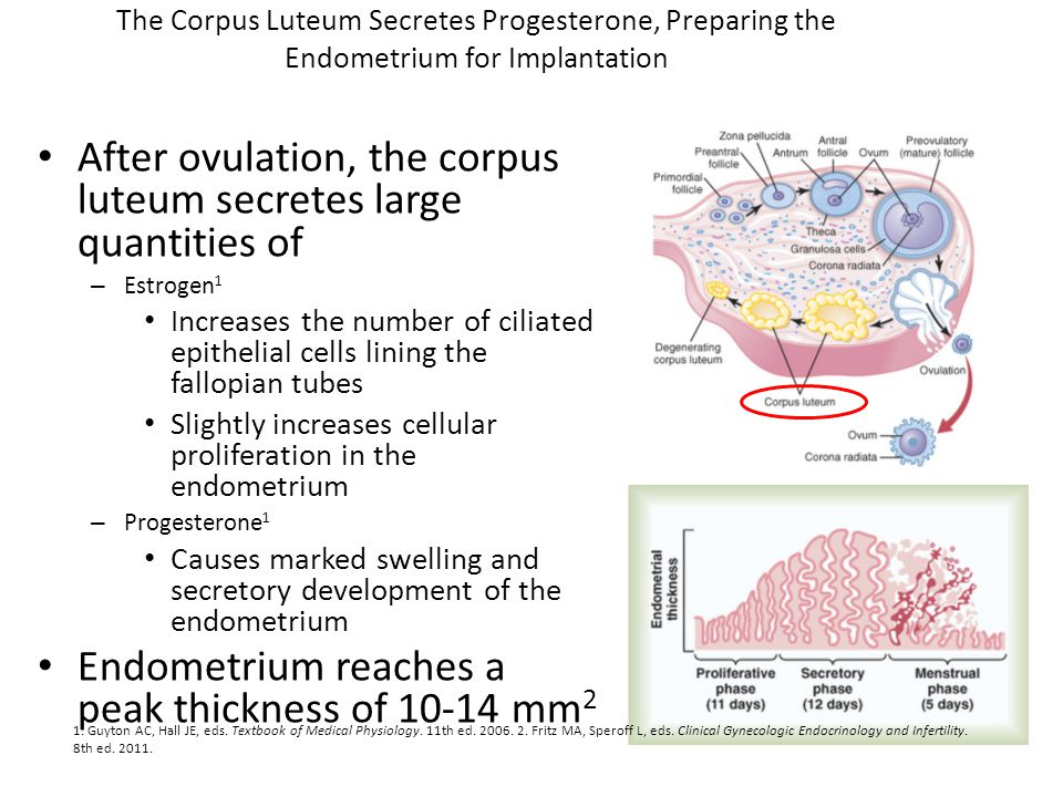 After ovulation, the corpus luteum secretes large quantities of