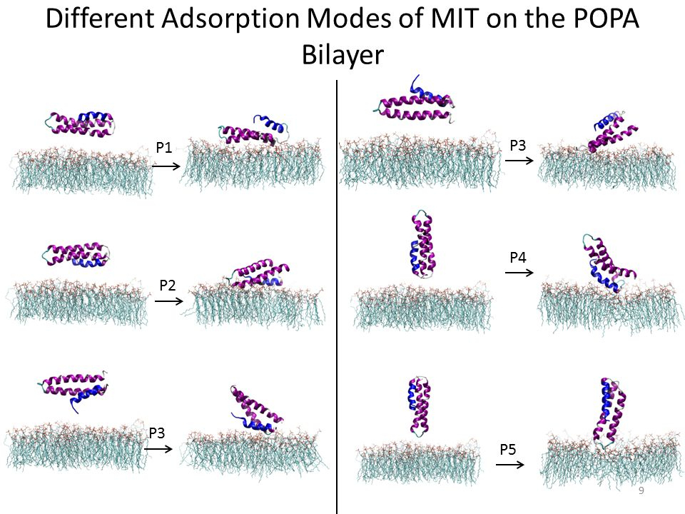 Different Adsorption Modes of MIT on the POPA Bilayer