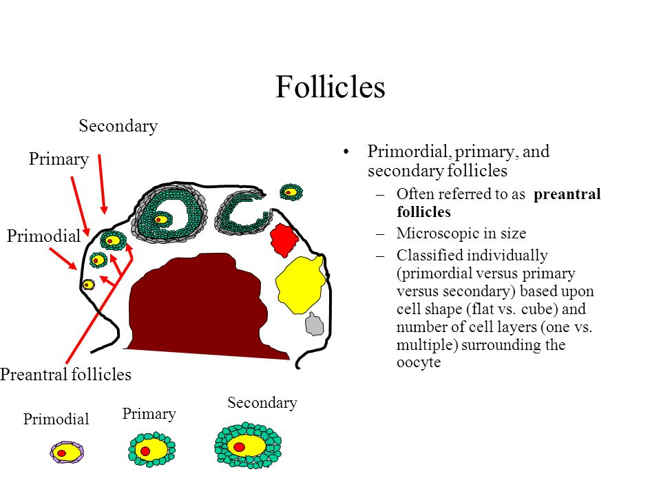 Follicles Secondary Primordial, primary, and secondary follicles