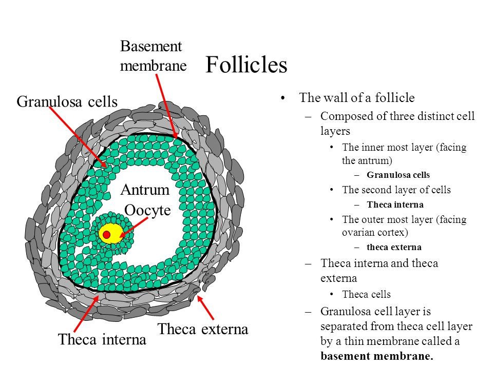 Follicles Basement membrane Granulosa cells Antrum Oocyte