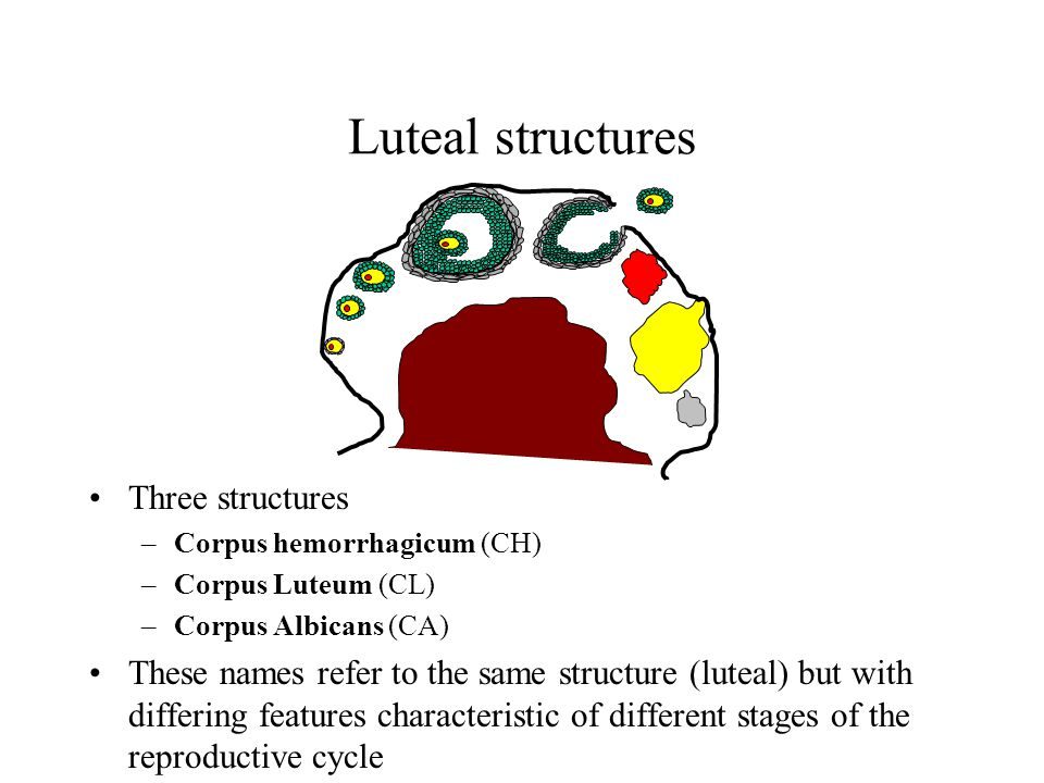 Luteal structures Three structures