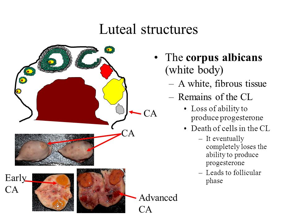 Luteal structures The corpus albicans (white body)