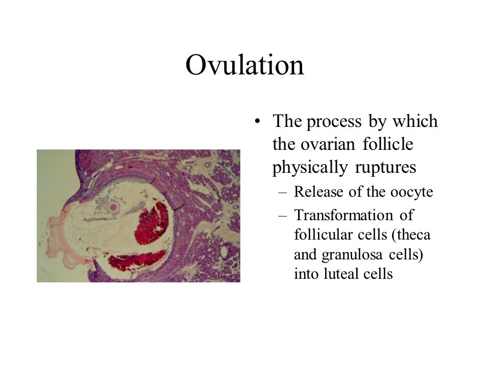 Ovulation The process by which the ovarian follicle physically ruptures. Release of the oocyte.