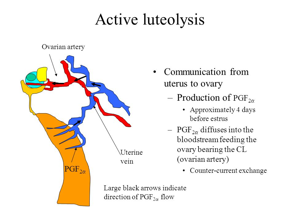 Active luteolysis Communication from uterus to ovary
