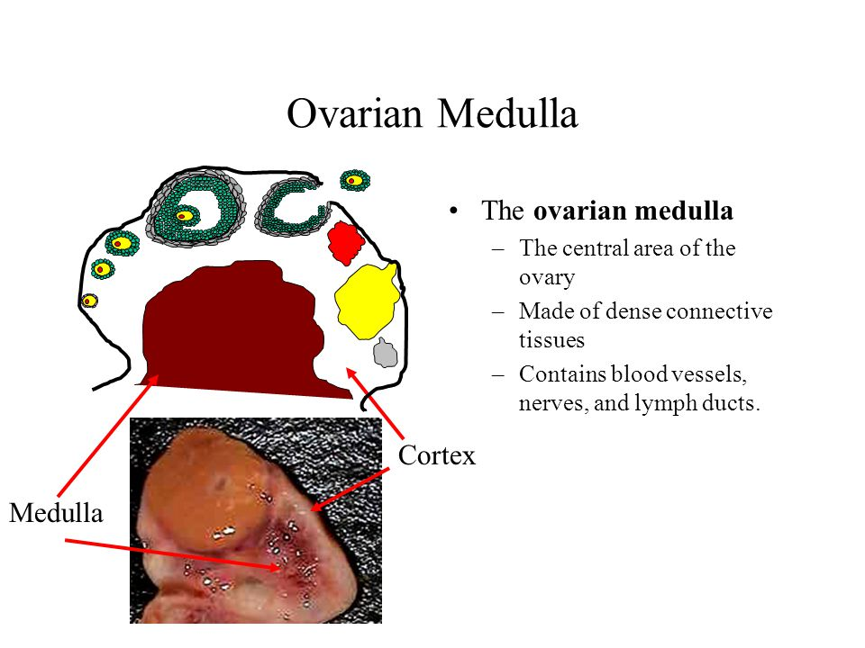 Ovarian Medulla The ovarian medulla Cortex Medulla
