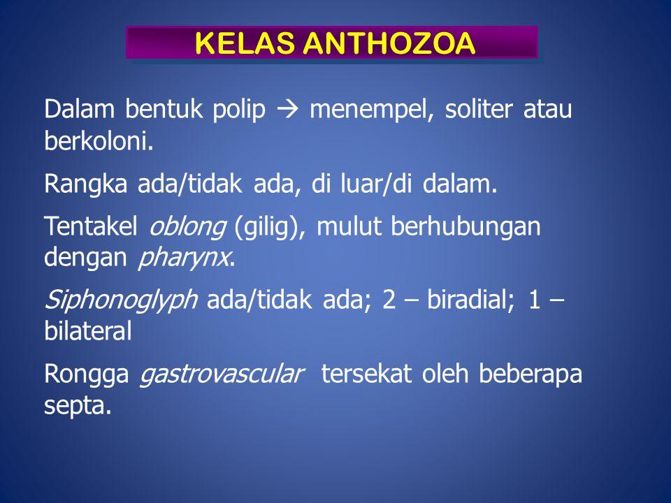 KELAS ANTHOZOA Dalam bentuk polip  menempel, soliter atau berkoloni.