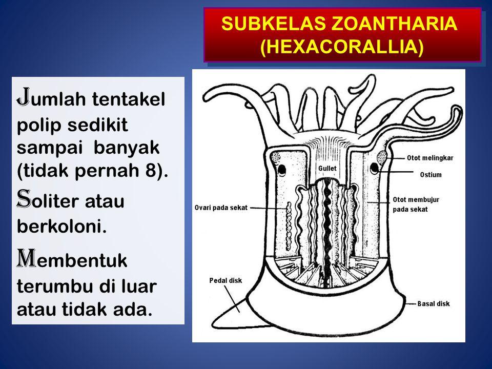 Jumlah tentakel Soliter atau Membentuk SUBKELAS ZOANTHARIA