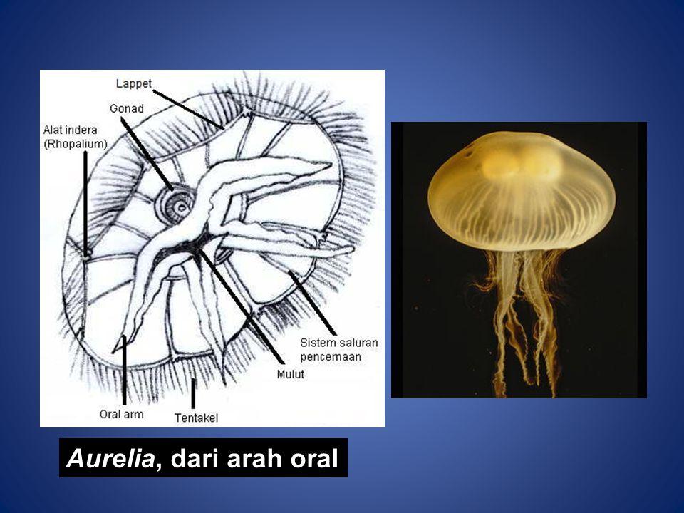 Aurelia, dari arah oral