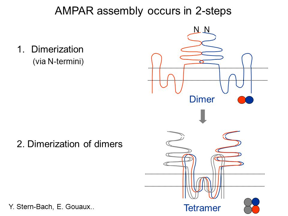 AMPAR assembly occurs in 2-steps