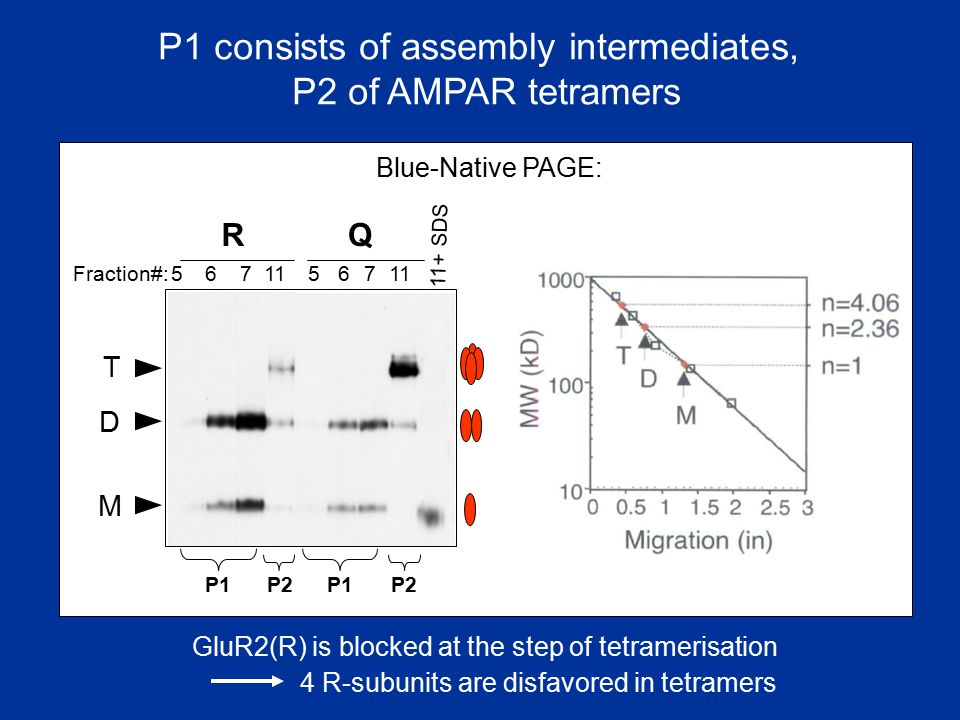 P1 consists of assembly intermediates,
