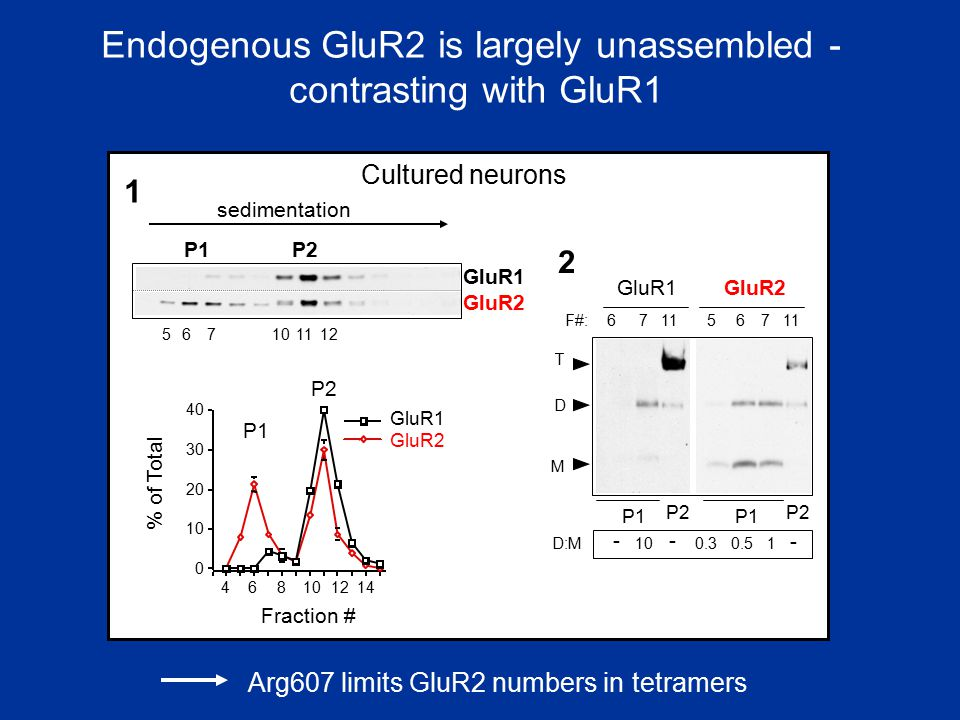 Endogenous GluR2 is largely unassembled -