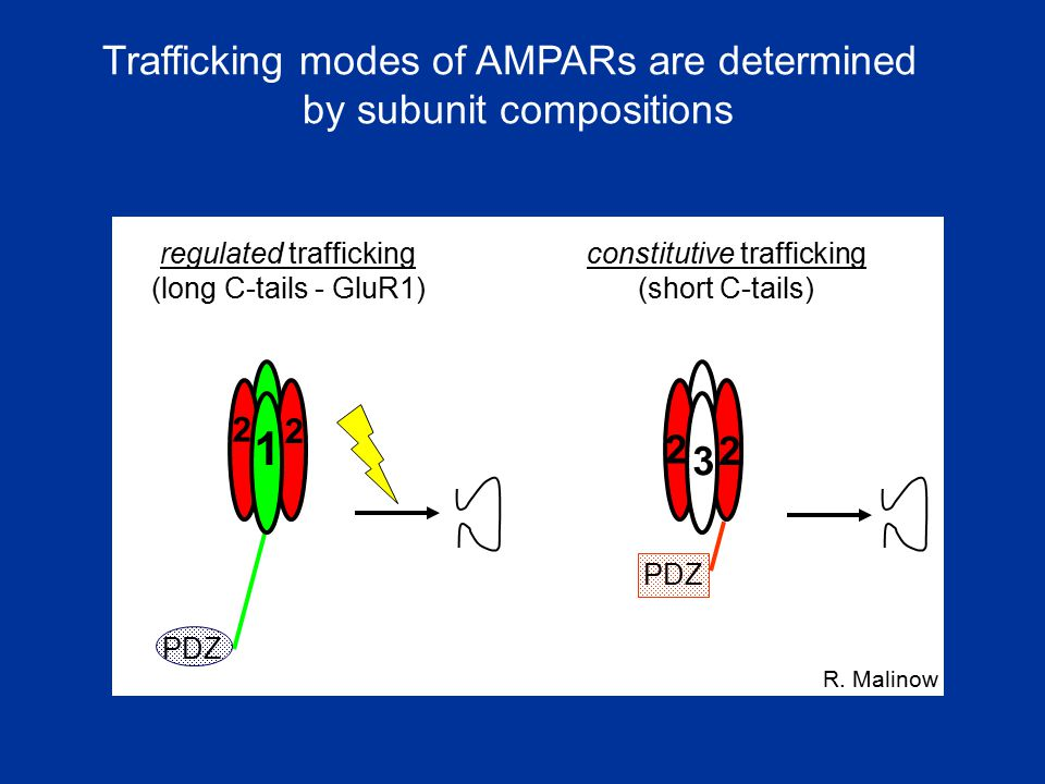 1 1 Trafficking modes of AMPARs are determined by subunit compositions