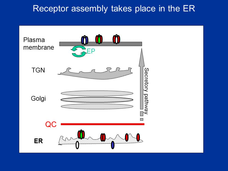 Receptor assembly takes place in the ER
