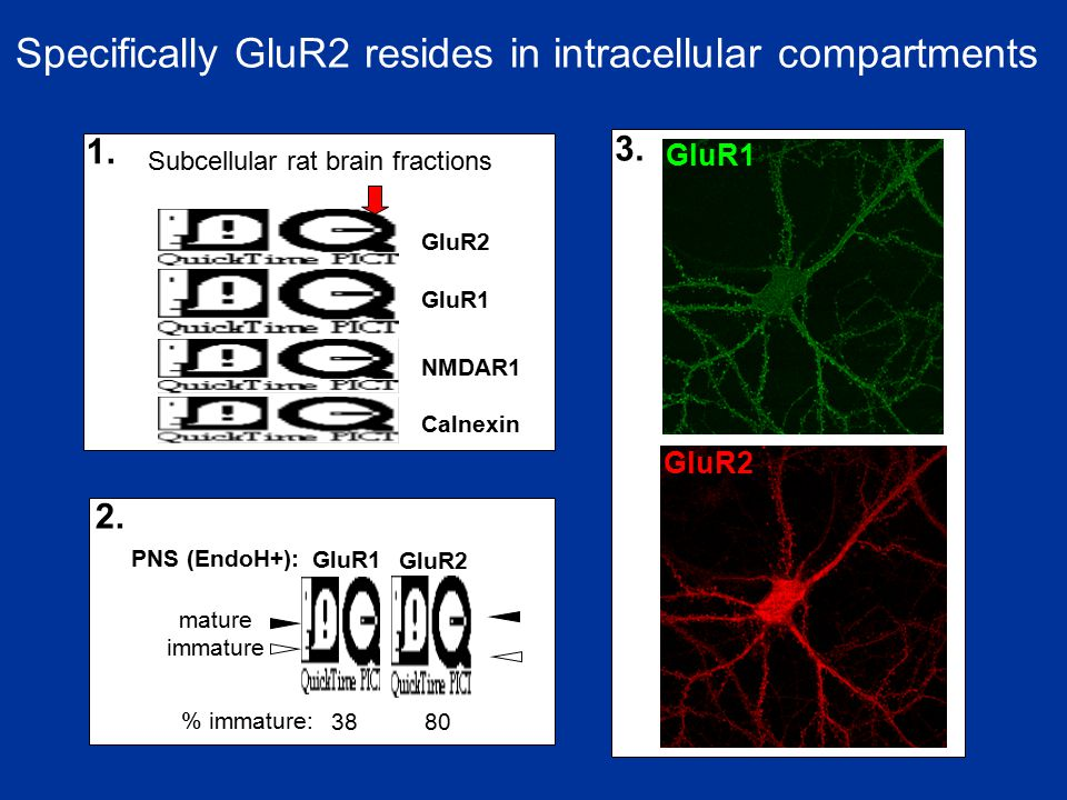 Specifically GluR2 resides in intracellular compartments