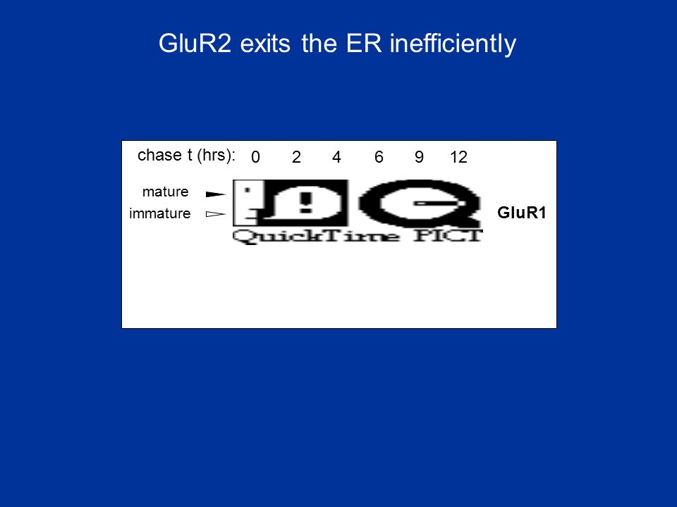 GluR2 exits the ER inefficiently