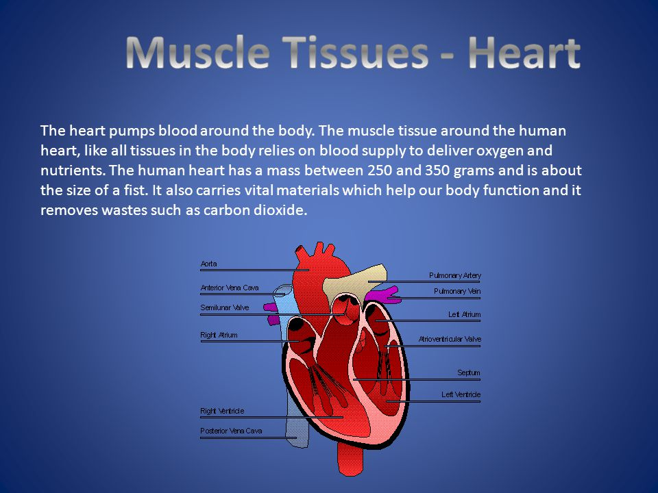 Muscle Tissues - Heart