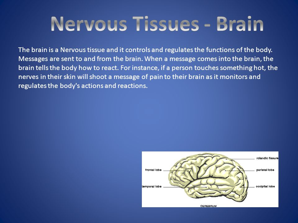 Nervous Tissues - Brain