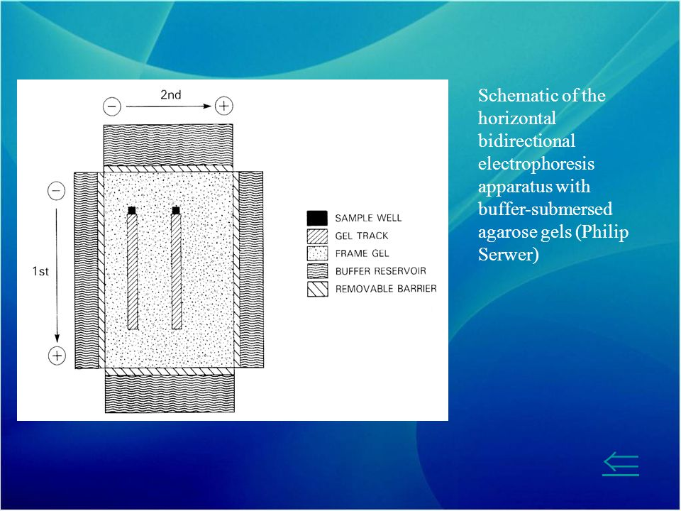 Schematic of the horizontal bidirectional electrophoresis apparatus with buffer-submersed agarose gels (Philip Serwer)