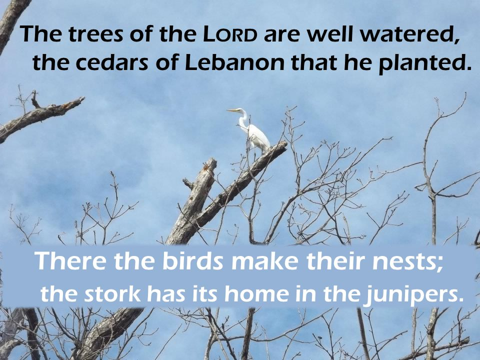 The trees of the Lord are well watered, the cedars of Lebanon that he planted.