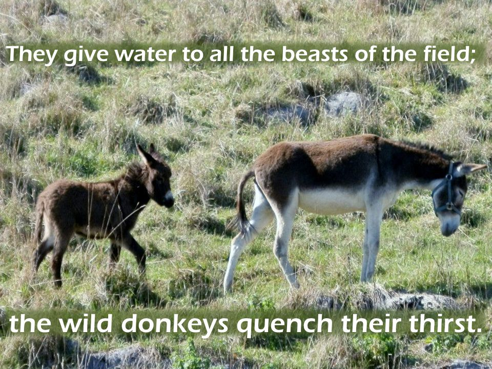 the wild donkeys quench their thirst.