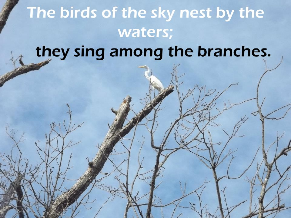 The birds of the sky nest by the waters; they sing among the branches.