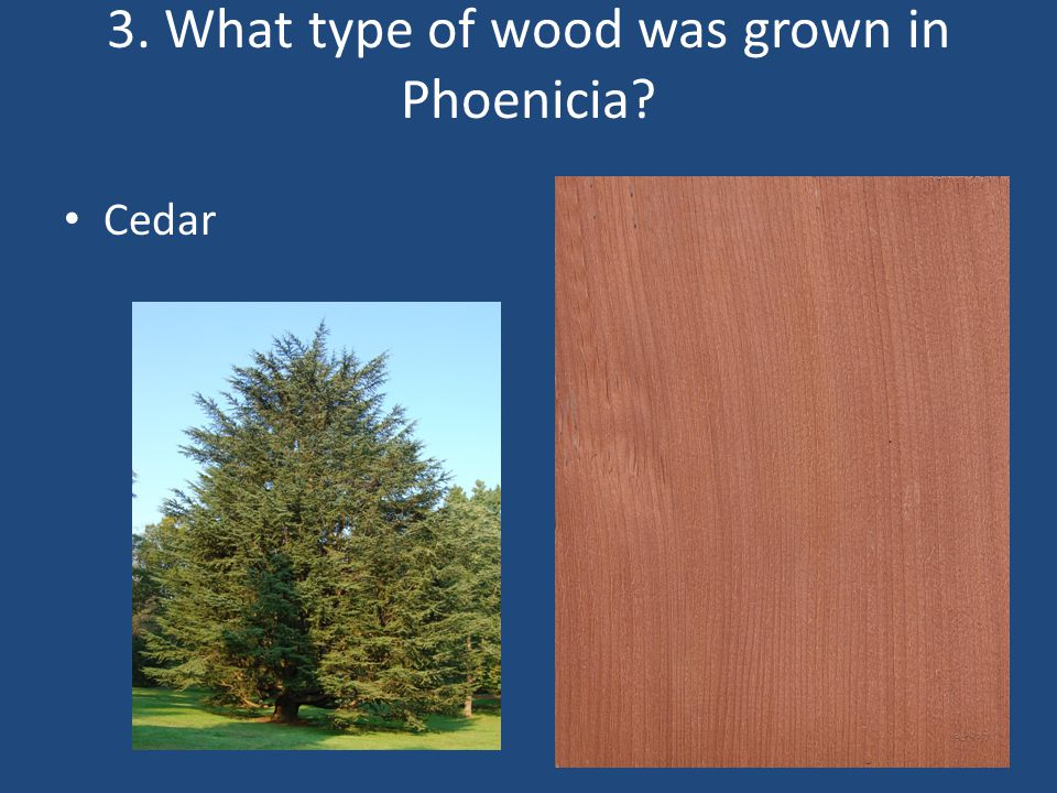 3. What type of wood was grown in Phoenicia
