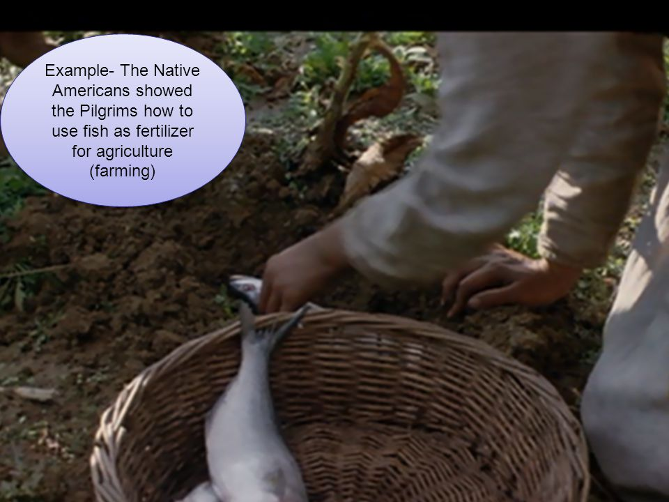 Example- The Native Americans showed the Pilgrims how to use fish as fertilizer for agriculture (farming)