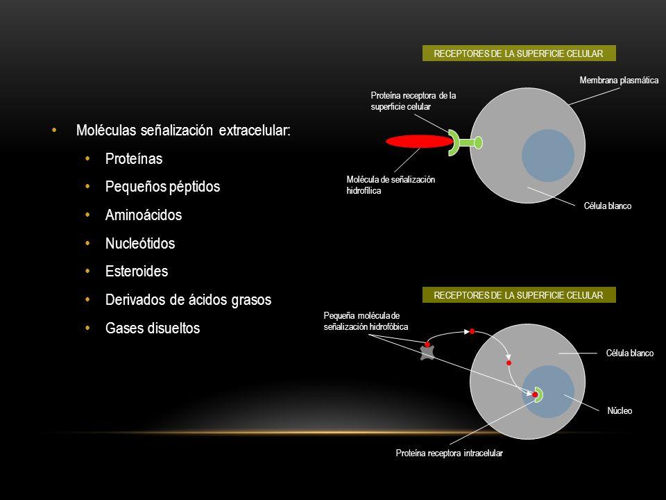 Moléculas señalización extracelular: Proteínas Pequeños péptidos