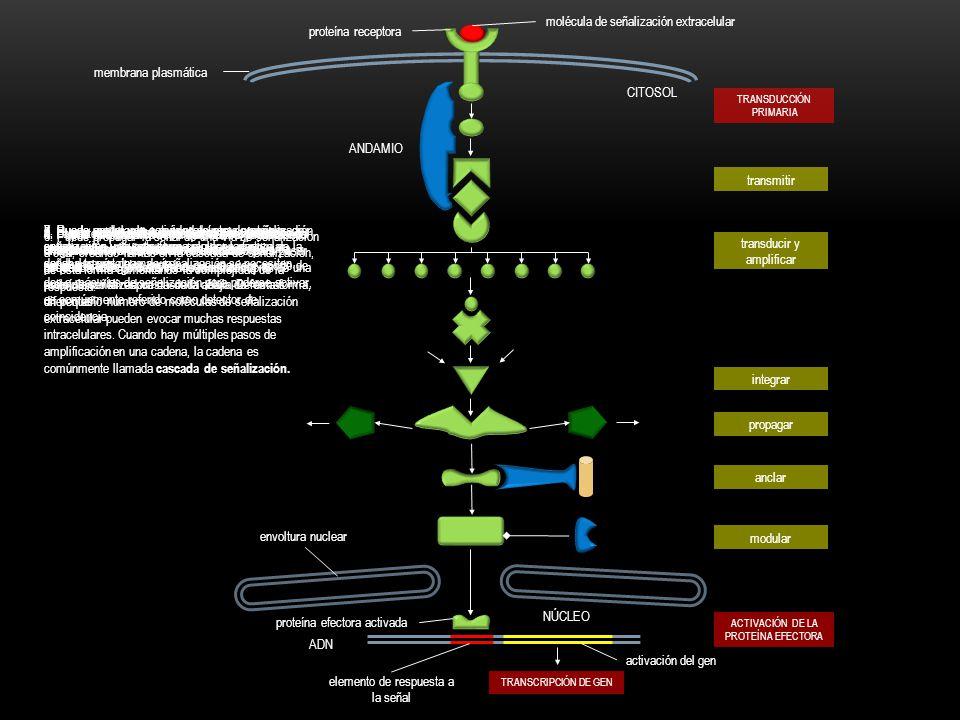 molécula de señalización extracelular proteína receptora