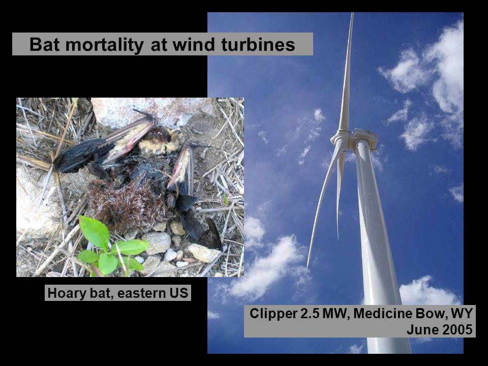 Bat mortality at wind turbines
