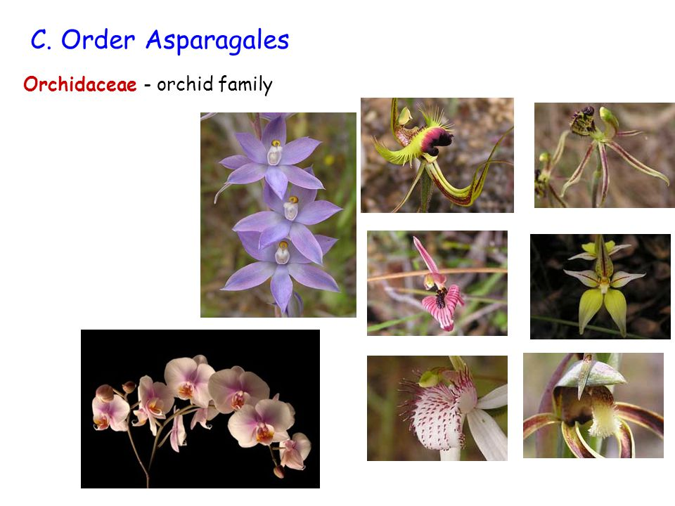 C. Order Asparagales Orchidaceae - orchid family