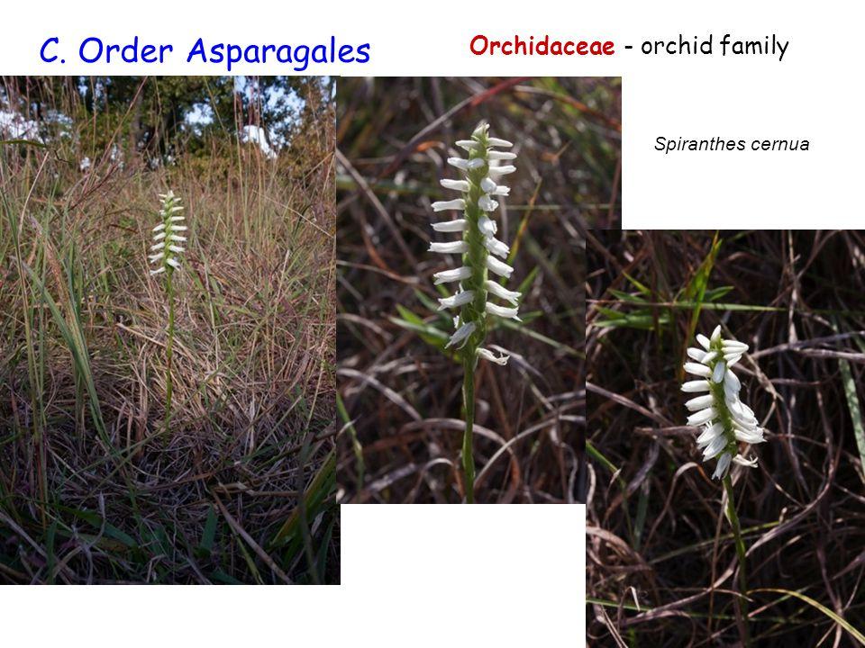 C. Order Asparagales Orchidaceae - orchid family Spiranthes cernua