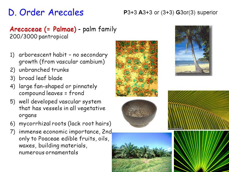 D. Order Arecales Arecaceae (= Palmae) - palm family