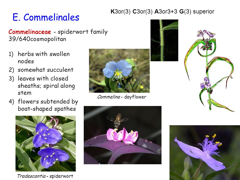 E. Commelinales K3or(3) C3or(3) A3or3+3 G(3) superior