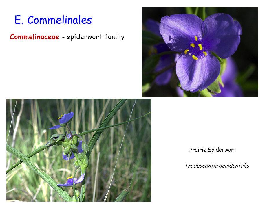 E. Commelinales Commelinaceae - spiderwort family Prairie Spiderwort
