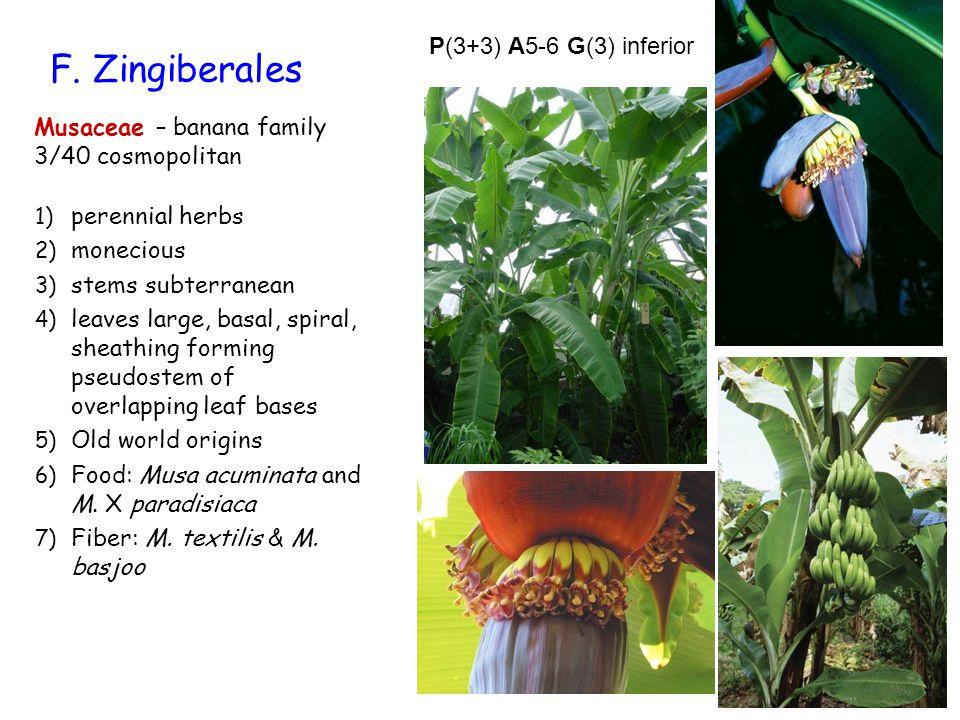 F. Zingiberales P(3+3) A5-6 G(3) inferior Musaceae – banana family